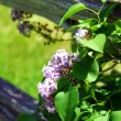 Lilacs 4th Line for Wordpress